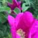 2020年ハマナスの花と実